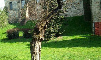 Vandali alla Rocca, in fiamme un albero secolare – TreviglioTV