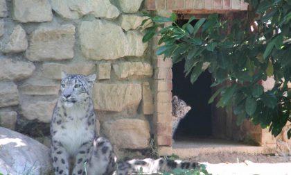 Nuovi ospiti alle Cornelle: sono nati due leopardi