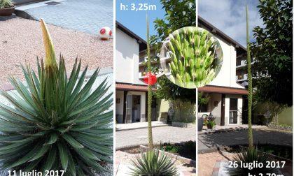 La spettacolare morte di un fiore gigante: in due settimane è cresciuto di tre metri FOTO