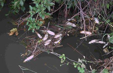 Niente acqua nei fossi, si ripete la moria di pesci