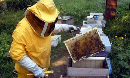 """Apicoltore arzaghese lancia l'allarme: """"Prima il freddo, poi l'afa: che  disastro per il mio miele"""" - Prima Treviglio"""