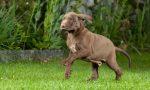 Bocconi avvelenati lanciati in un giardino, morto un cane