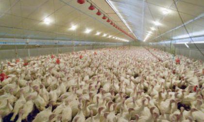 Focolaio di aviaria nella Bassa, abbattuti 135mila capi