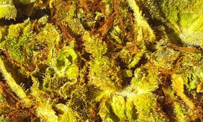 Cannabis light, parte la vendita a Bergamo