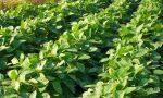Puzze di broccolo in paese, sono le cover crops