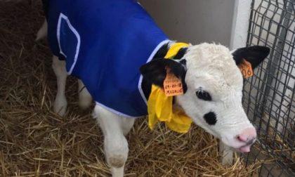 Gelo siberiano e i vitelli mettono il cappotto