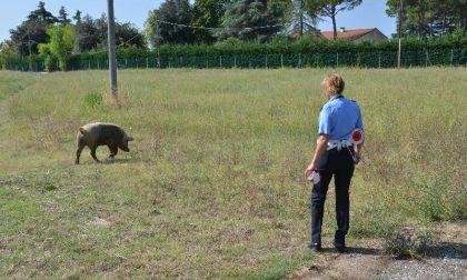 Cade dal camion in corsa, Paullese bloccata da un maiale
