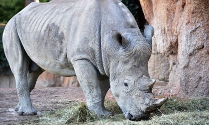 Pancho il rinoceronte bianco sbarca al Parco faunistico Le Cornelle FOTO