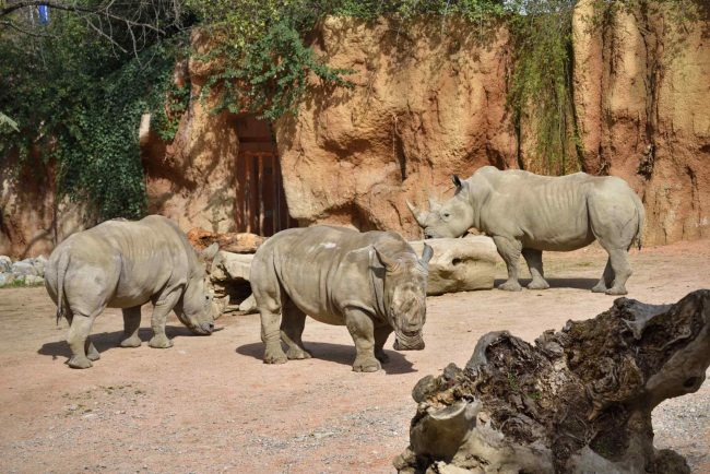 Pancho rinoceronte bianco Le Cornelle