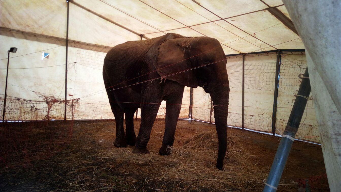 elefante scappa dal circo