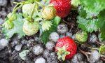 Grandine nel Milanese: in Martesana flagellati ortaggi e fragole
