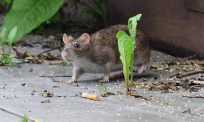 Troppi topi a Fontanella, la protesta della minoranza