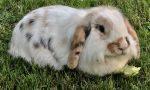 """In giardino spunta una coniglietta: """"Aiutateci a trovargli una casa"""""""
