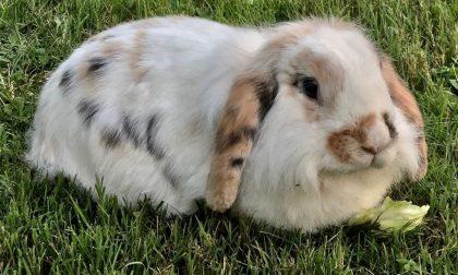 Coniglietta abbandonata in un giardino, Dora ha trovato una nuova casa