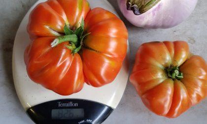 Pomodoro record nell'orto di casa curato dal signor Bani