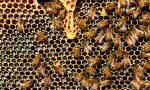 Troppo caldo anche per le api, in Lombardia crolla la produzione di miele
