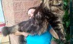 Il gatto più lungo del mondo è del pavese