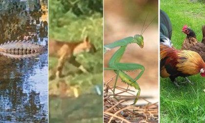 Il coccodrillo varesino, il puma comasco e... altri animali mitologici
