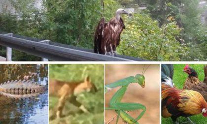 Condor o grifone... altro animale mitologico in Lombardia