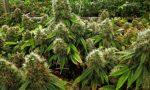 Coltivavano 3mila piante di marijuana, tre arrestati
