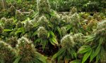 Nel garage di casa aveva 50 chili di marijuana: in manette