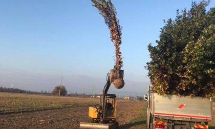Piantumazione di querce nel nuovo filare alberato di via Colleoni