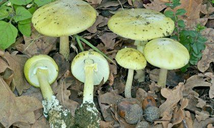 Funghi fuori stagione attenzione alla Amanita phalloides
