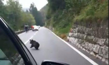 Mamma orsa e il suo piccolo immortalati sulla Statale 42 Valcavallina, ma è una fake news VIDEO