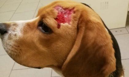 Beagle azzannato da due cani lupo, vivo per miracolo