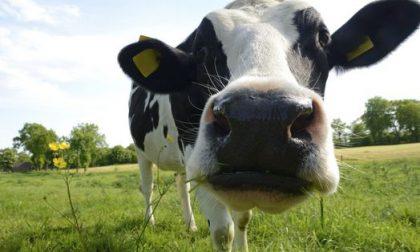 Sequestrate dai carabinieri le mucche di Cassina de' Pecchi