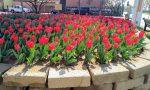 """Duemila tulipani per dire """"No"""" alla violenza di genere"""