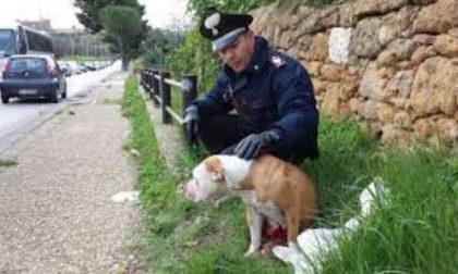 Aggredita da un pitbull mentre porta a spasso il suo cagnolino