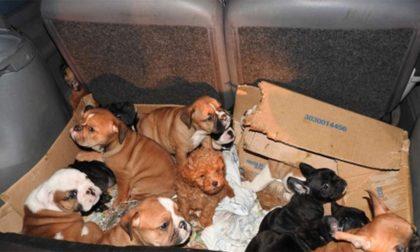 Traffico illegale di cuccioli, coinvolto anche un allevamento Colognese
