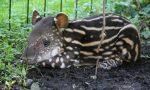 Benvenuta Lodi! Al Parco faunistico Le Cornelle è nata una piccola tapira FOTO VIDEO