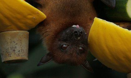 Gli amici pipistrelli e la lotta alle zanzare: se ne parla a Treviglio