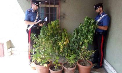 """Coltiva marijuana in cortile, i vicini fanno la """"spia"""" e lui viene arrestato"""