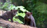 """Sono nati due cuccioli di pantera nera alle """"Cornelle"""" VIDEO"""