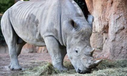 Creati a Cremona gli embrioni in vitro per salvare i rinoceronti bianchi