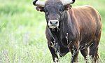 Travolto da un toro, macellaio ricoverato in ospedale