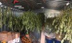In giardino aveva una serra di marijuana: 50 piante, arrestato