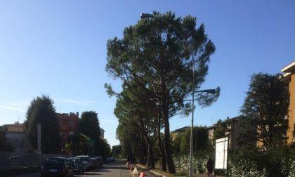 Abbattuti quindici pini in via della Pace
