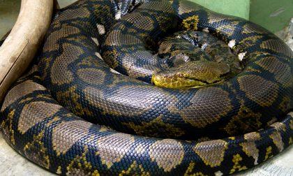 A Crema maxi sequestro di serpenti e ragni pericolosi