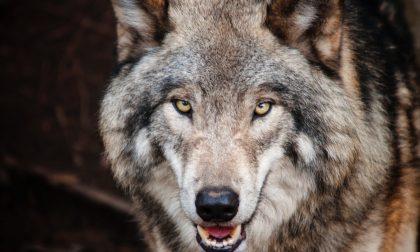 Un lupo nel Cremasco