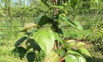 Festa dell'albero, frutti antichi a dimora nei giardini delle scuole dell'infanzia