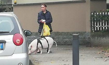 Il maiale al guinzaglio immortalato in Centrale a spasso per Cernusco