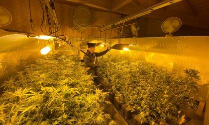 Oltre 300 piante di marijuana coltivate in casa, tre arresti