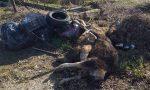 Carcasse di animali abbandonate per strada