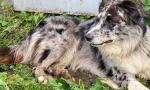 """Due cani spariti dalla cascina Tiraboschi: """"Temo li abbiano rubati o avvelenati"""""""