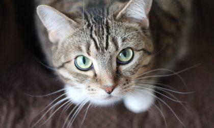 Non disinfettate i gatti con la candeggina: morto un micio nel Cremasco
