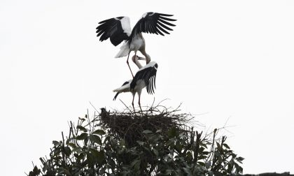 Coppia di cicogne nidifica in paese FOTO